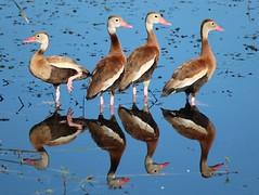 Black-Bellied_Whistling_Ducks2_09012012