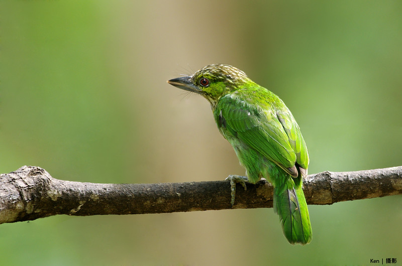 Green Eared Barbet