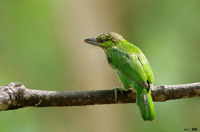 Green Eared Barbet