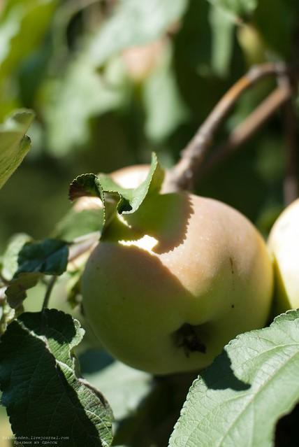 яблоко11