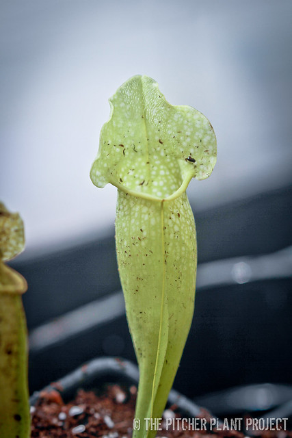 "Sarracenia ""Green Dragon"""