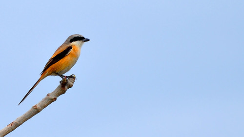 Long-tailed Shrike (in Explore)