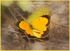 Sleepy orange Butterfly photography by Ron Birrell; DSC_8739