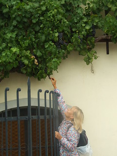 Stealing grapes from the oldest vine in the world