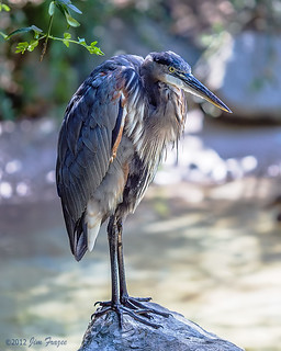 Local Great Blue Heron on a break from preening - San Diego Zoo