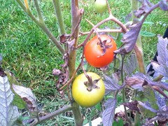 Our Failed Tomatoes
