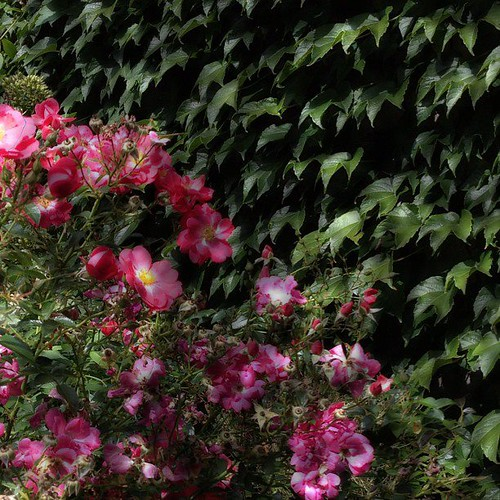 Roses and Ivy