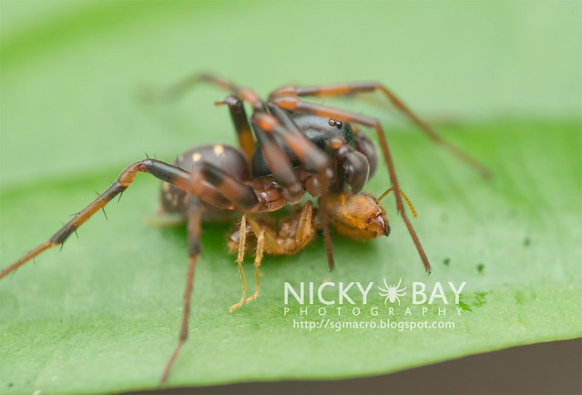 Ground Spider (Zodariidae) - DSC_4730