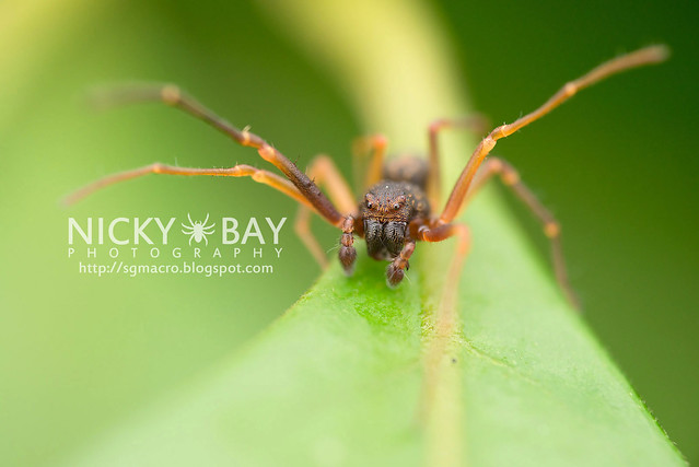 Crab Spider (Thomisidae) - DSC_4670