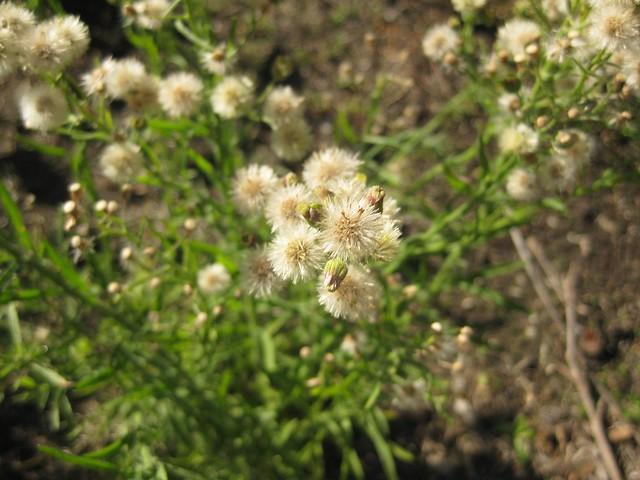 fleabane (Conyza bonariensis, Conyza canadensis and related species)
