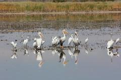 Reddish Egret among American White Pelicans, American Avocet, Sandpiper Sp. (Baird's?), Yellowlegs Sp. (Greater?), Great Egret, and Snowy Egrets