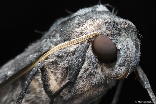 Mariposa Close-up (Sphingidae)