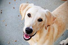 Skylar, Yellow Labrador Retriever Mix