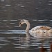 Hybrid Mute x Black Swan by Baractus