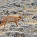 Ethiopian Wolf, Sanetti Plateau (Tim Melling)