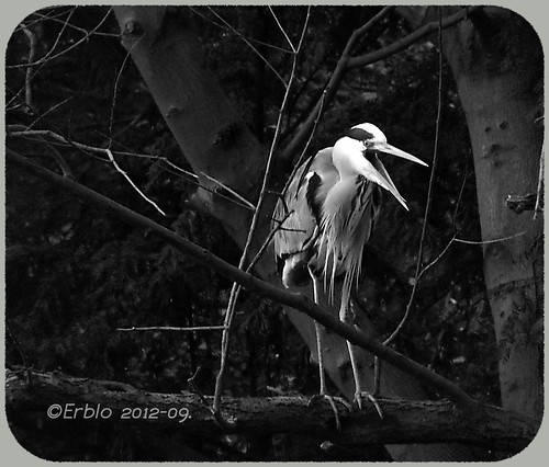 Blue Heron says 'hello World' ...