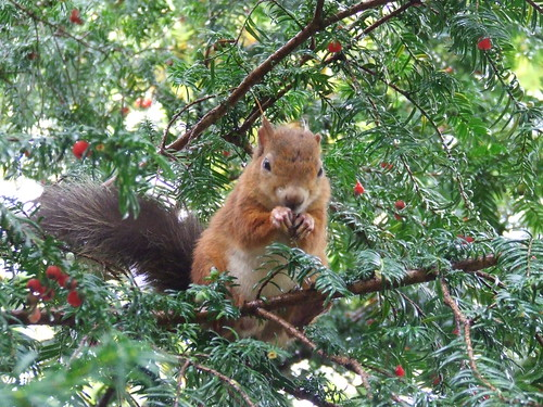 Red Squirrel by Linda Yarrow