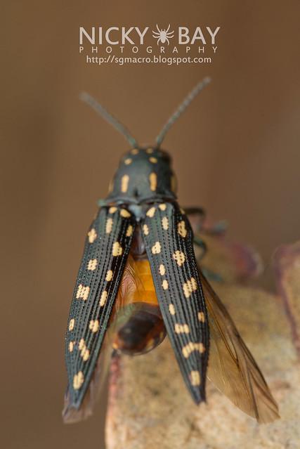 Jewel Beetle (Polyctesis sp.) - DSC_5916