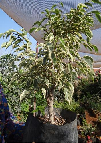 First bonsai help! 8028950694_c4a48457e3