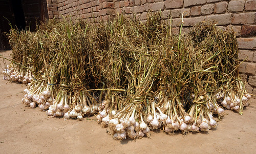 Garlic from vegetable fields in Thabul-pind is kept for a transportation to nearby market.