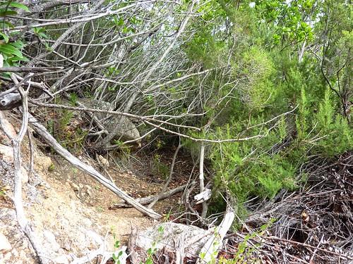 Chemin de la Montagne aux Plages : raccordement de la sente avec l'ancien chemin bien enfoui sous le maquis