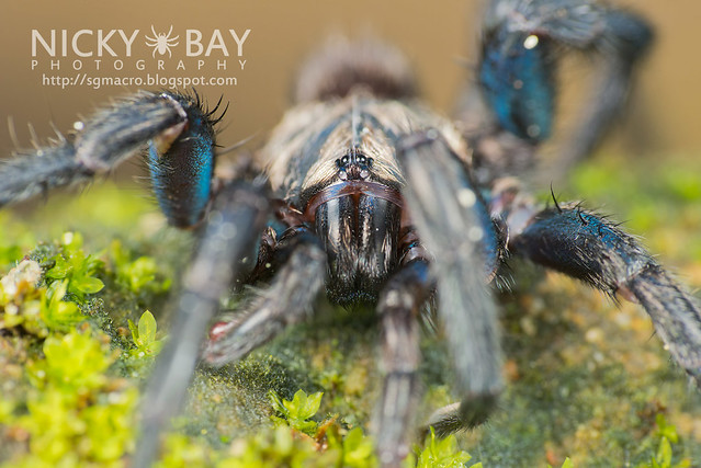 Brush-Footed Trapdoor Spider (Barychelidae) - ESC_0054