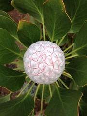 Protea bud