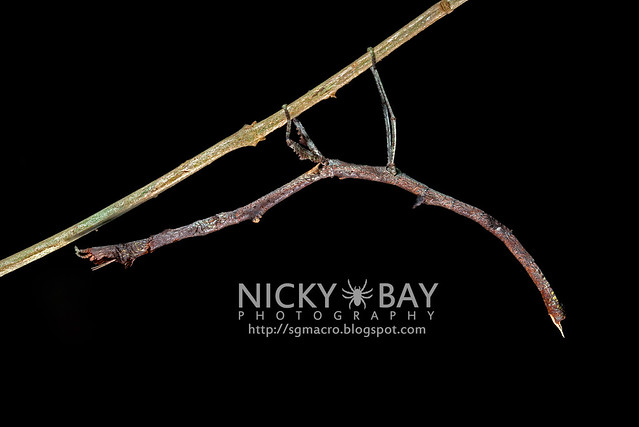 Stick Insect (Phasmatodea) - DSC_8877