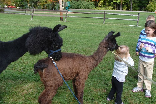 alpacas eating child's hair