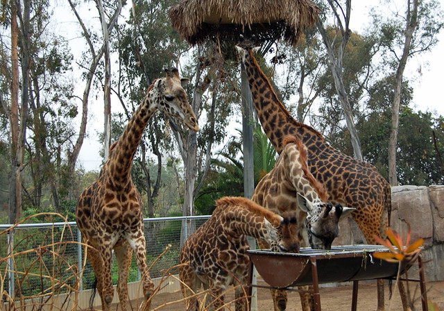 giraffes-drink