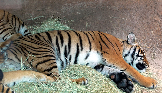 tigers - discounted san diego zoo tickets