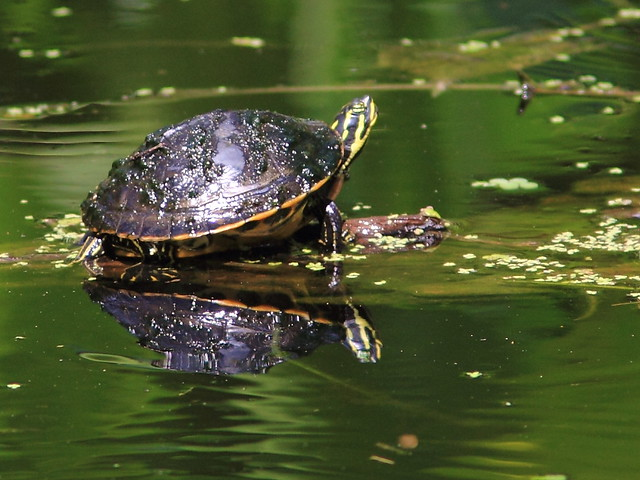 Florida Red-bellied Turtle 20120930