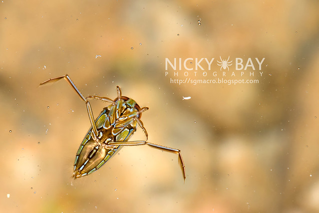 Water Boatman (Notonectidae) - DSC_5139