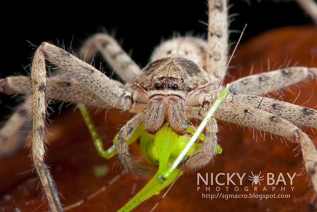 Huntsman Spider (Sparassidae) - i02708