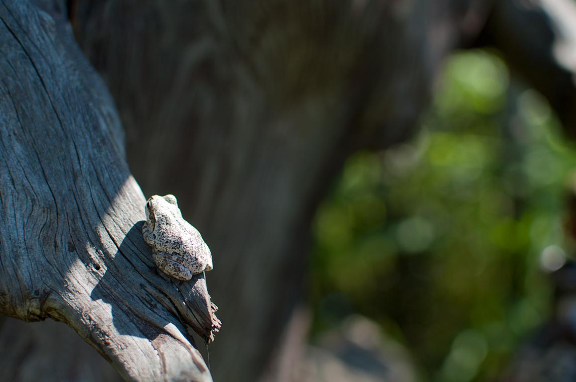 同化するカエル