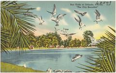 Sea gulls at Orlando, Florida, 'the city beautiful'