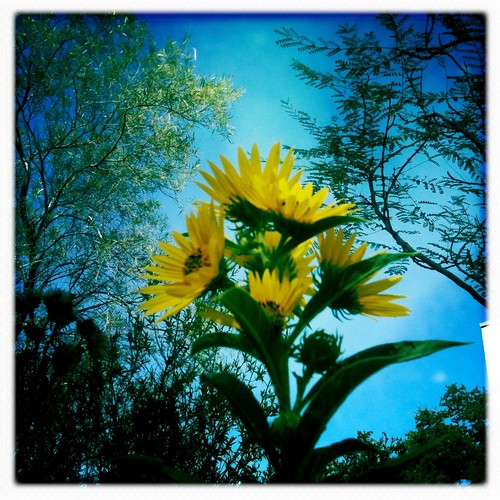 Maximillian sunflower