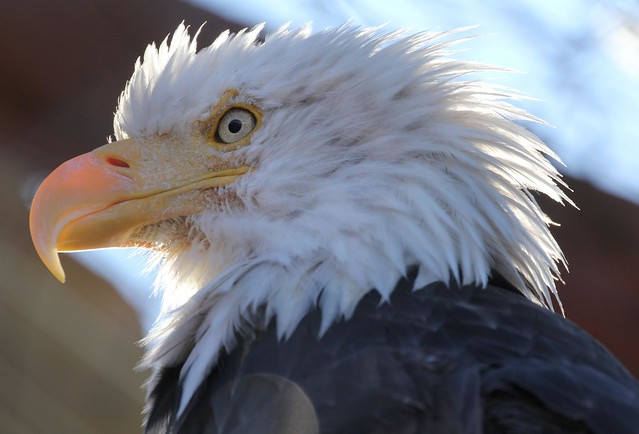 Bald Eagle Head close up - Alaska Wildlife Conservation Center near Anchorage