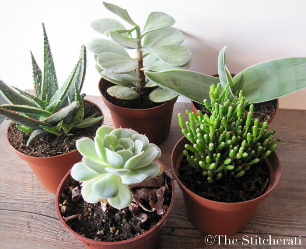Diy indoor succulent garden the stitcheratithe stitcherati - Best indoor succulents ...