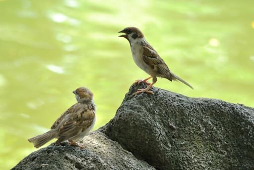 平凡的小麻雀也有可愛的一面