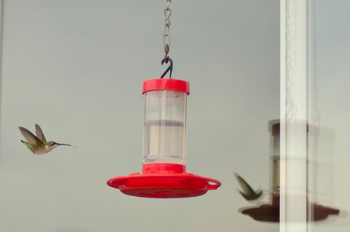 Hummingbird Stalking