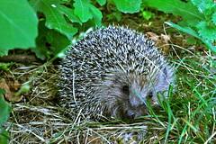 domesticated hedgehog(0.0), echidna(1.0), animal(1.0), hedgehog(1.0), porcupine(1.0), erinaceidae(1.0), fauna(1.0), wildlife(1.0),