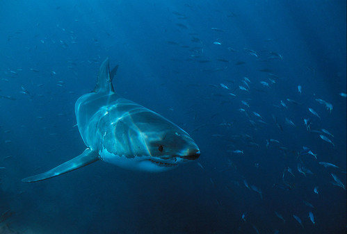 89376 Great White Shark