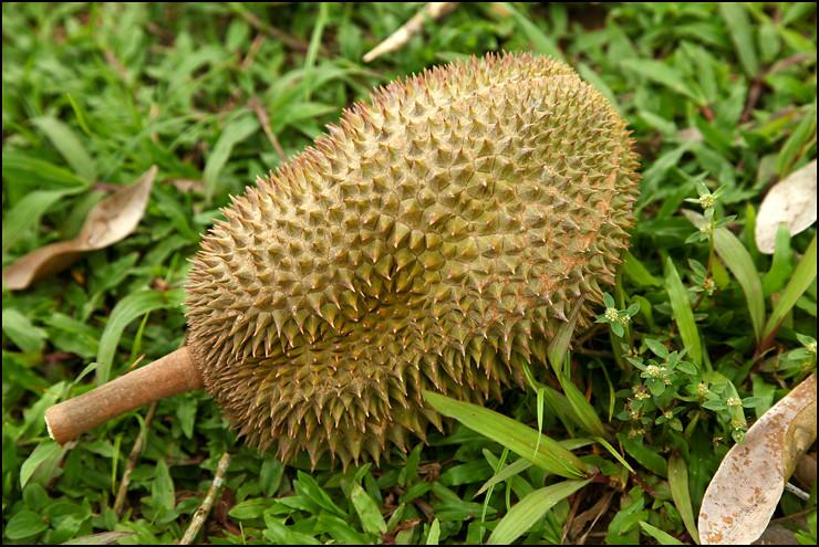 fell-durian