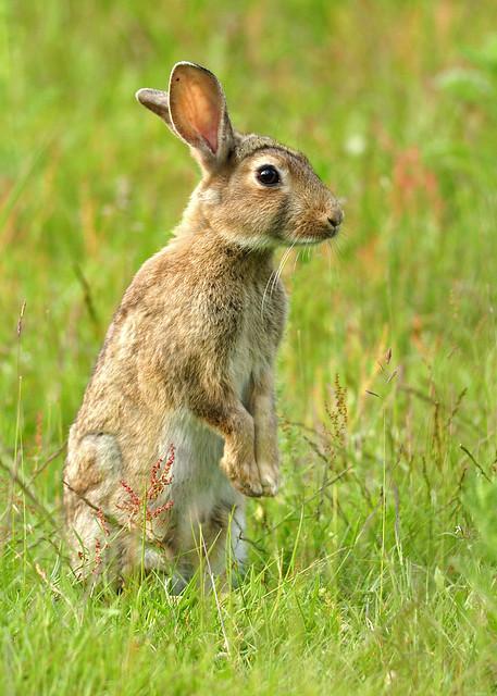 Allert wild rabbit