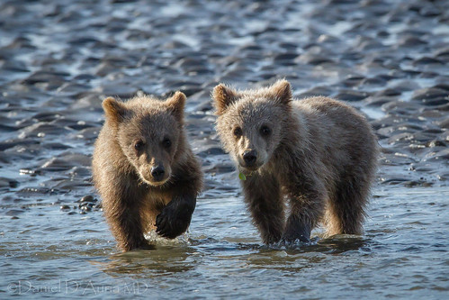 Oh, you've got a little something on your lip over there.  Coastal brown bear cubs in Lake Clark National Park and Preserve in Alaska. 6928