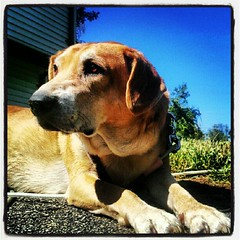 Sophie soaking up some #newhampshire #sun  #dogs #hound #mutt #rescue #adoptdontshop #love #driveway #sky #dogstagram
