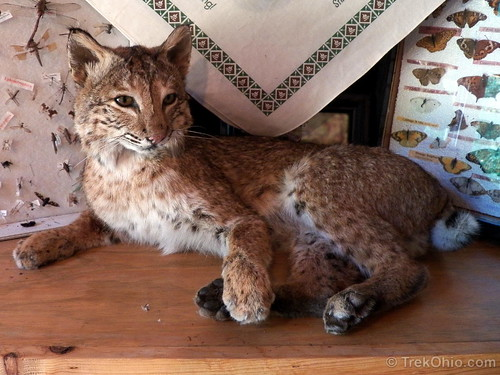 Taxidermy - bobcat