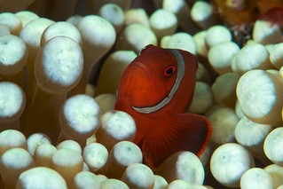 Amphiprion melanopus and anemone