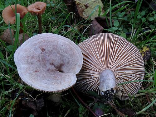 Серу́шка — гриб рода Млечник семейства Сыроежковые. Условно-съедобен. Википедия Photo by Kari Pihlaviita on Flickr Автор фото: Kari Pihlaviita